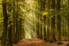 Autumn feeling (Ellen van den Doel) Tags: 2018 autumn trees fall maternity bomen beams forest oktober herfst zonnestralen fog bos bergenopzoom shoot light