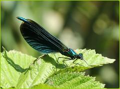 Male Beautiful Demoiselle (glostopcat) Tags: beautifuldemoiselledamselfly damselfly insect invertebrate macro glos forestofdean linearpark cinderford june summer ordonata