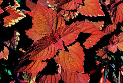 Shades of red (mkk707) Tags: leicaflex leicaflexsl2 summicronr50mm kodakektar100 wwwmeinfilmlabde itsaleica vintagelens vintagefilmcamera manualfocuslens 35mmfilm film kodak red leaves
