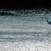 Egret - Pensthorpe
