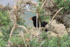 Blackbird In Gorse (DanRansley) Tags: britain cornwall danransleyphotography danransleynet england greatbritain kernow uk animal bird birding blackbird conservation feathers gorse nature ornithology wildlife