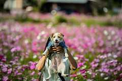 I'm a Shy Person (moaan) Tags: tanba hyogo japan jp dog jackrussellterrier kinoko portrait dogportrait flower flowerimg flora cosmos cosmosflower filedofflowers focusonforeground selectivefocus depthoffield bokeh bokehphotography canon canophotography canoneos5dsr ef70200mmf28lisiiusm utata 2018