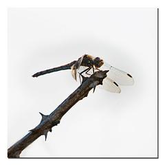 Attention aux épines (Des.Nam) Tags: libellule dragonfly carré square nature insecte desnam nikon nikond800 d800 minimaliste minimal 200500f56 ronce branche