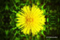 Dandelion (Stephenie DeKouadio) Tags: abstractflower abstract abstractart abstractflowers hypnotique art artwork artistic macro macrophotography macroabstract flowers flower flowersabstract flowerabstract yellow dandelion colorful