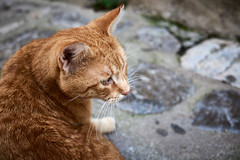 I couldn't care less... (iamunclefester) Tags: vacation holiday croatia krk otokkrk cat redhead red ignore dontmind closeup profile detail negativespace whisker eye ear cobblestone