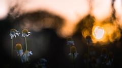 Lost in Dreams (ursulamller900) Tags: helios442 kamille sunset sonnenuntergang herbst autumn golden bokeh