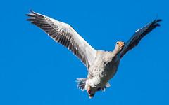 Rainham flying Greylag_