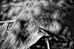 Broken (1) (Phancurio) Tags: tree woods monochrome closeup