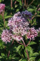 K7018944 (Fabio.Buoso) Tags: fiori piante natura prati fiorito