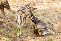 IMG_0280 (kijani_lion) Tags: lion safari park african wild dog south africa