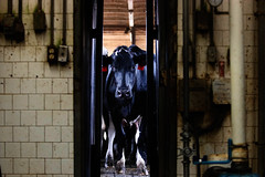A Double S Dairy cow looks into the milking room through a door while awaiting the milking process.