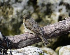 Rock Pipit (Lanius Excubitor) Tags: rock pipit nikon bird branch seaweed