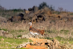 Great-Bustards_w_1087 (Daly Wildlife) Tags: greatbustard otistarda heaviestflyingbird plains steppe agriculturalareas sedentary protected vulnerable spain austria germany hungary portugal slovakia