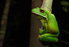 White-lipped Tree Frog (timhackwood) Tags: frog whitelippedtreefrog wildlife amphibian