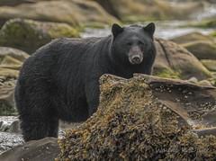 ND5_0294 Viewing One Another (Wayne Duke 76) Tags: blackbear river animal rock mammal hair eyecontact