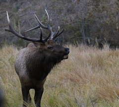 Big Bull Elk With Busted Up Antlers (fethers1) Tags: elk bullelk evergreen evergreenlake coloradowildlife
