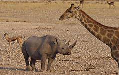 Rhino and giraffe (nisudapi) Tags: 2018 africa namibia etosha etoshanp nationalpark animal wildlife rhino blackrhino rhinoceros black giraffe