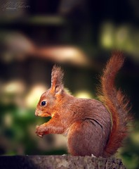 Little Red (Mandyjj543) Tags: squirrels red wildlife forest rodent canon