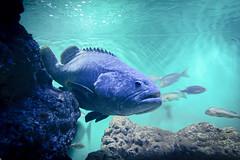 THE BIG (enebisu) Tags: タマカイ epinepheluslanceolatus sony α7ii ilce7m2 a7ii mc11 sigma 2470mmf28 dghsmosart 葛西臨海水族園 水族館 fish