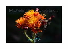 Flower Symphony 2018 (DC Michèle) Tags: nature garden flower flowersymphony wildflower orange michèledc