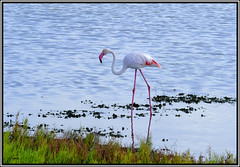 - FLAMENCO - (Tomas Mauri) Tags: eldelta españa ave flamenco fauna serenidad fujixt2