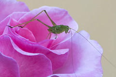 Nel rosa (luporosso) Tags: natura nature naturaleza naturalmente nikon nikonitalia nikond500 grillo cricket rosa rose fiori flowers fleur flor flores insect insetto macro closeup