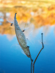seeds clinging on in fall by river (maryannenelson) Tags: colorado durango animasriver plants landscape milkweed autumn fall seeds pod