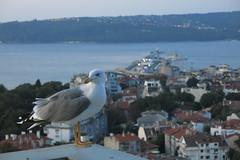 A seagull in Varna (lyura183) Tags: bulgaria българия varna варна city sea blacksea черноморе seagull bird