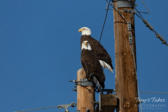 November 9, 2018 - Bald Eagles along the South Platte River. (Tony's Takes)