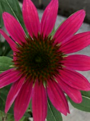 c2018 Sept 28, Redd Coneflowers IPhoneography 10 (King Kong 911) Tags: coneflowers hibiscus asters purslane plants growing green petals blooming