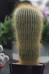 Malvern Autumn Show 2018 (RAY TYLER IMAGES) Tags: malvern autumn show exhibits display cactus