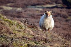 Drenthe (The Netherlands) - Drouwen - Drouwenerzand - 18 (Björn_Roose) Tags: bjornroose björnroose drenthe nederland netherlands niederlände paysbas heath heide drouwen drouwenerzand sheep schapen dieren animal