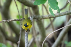 Wilson's warbler. (ricmcarthur) Tags: wilsonswarbler cardellinapusilla pond warbler rondeau ricmcarthur rickmcarthur rondeauric
