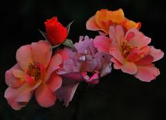 """rosa tappezzante """"Jazz""""- in Explore! :) (ceriz_83) Tags: rosa tappezzante giardino settembre"""