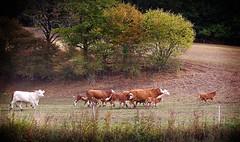Kühe im Schweinsgalopp (Maquarius) Tags: kühe rinder vieh kälber weide oberscheinfeld prühl mittelfranken franken