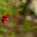 Red Bloom at Sope's Creek thumbnail