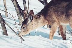 Bambi (valérielecomte) Tags: chevreuil doe biche nature photography winter neige snow hiver canada park parc quebec portrait wild free liberté liberty forest foret