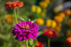 Fall In The Garden (Clayton Perry Photoworks) Tags: vancouver bc canada fall autumn explorebc explorecanada terranova flower