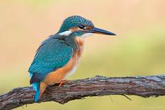 (rubacolor) Tags: martin pescatore alcedo atthis autunno colori natura uccelli birds