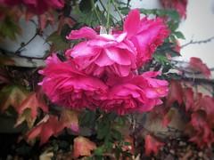 Jesienne róże (basiamarcisz) Tags: flowers kwiaty róże rose