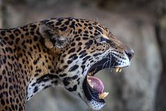 Jaguar Jaws (slange789) Tags: jaguar