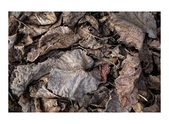 (giovdim) Tags: giovis oros weathered leaf color mood autumn greece forest feuilles decay life