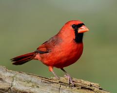 Northern Cardinal (laurie.mccarty) Tags: bird northerncardinal nature bokeh macro red green wildlife outdoor