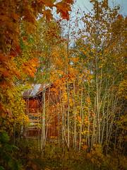 House of Fall (Topolino70) Tags: huaweip20pro mobile fall tree abandoned house syksy ruska talo hylätty