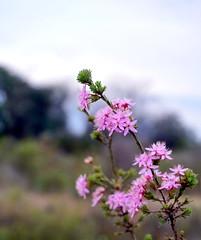 Wildflowers - White Hills Historic Mine Reserve (LJMcK) Tags: whitehills bendigo goldfields centralvictoria mining history victoria australia