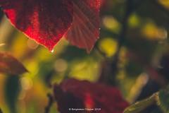 Drip (frattonparker) Tags: afsnikkor28300mmf3556gedvr btonner bokeh isleofwight lightroom6 nikond810 raw frattonparker autumn fog mist dew red contrejour backlit leaves leaf