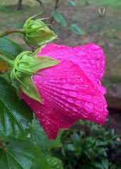 Hibiscus flower on a rainy day (Swallowtail Garden Seeds) Tags: hibiscus water droplets macro macroflower swallowtailgardenseeds perennial perennialflowers macroflowers flower