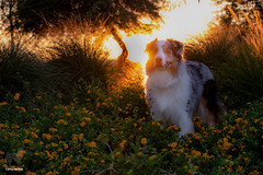 Sunset Suave (Jasper's Human) Tags: aussie australianshepherd dog flowers shrubs tree sunset