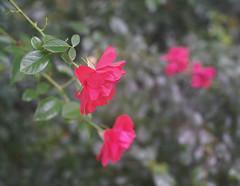 DSC09515 (Old Lenses New Camera) Tags: sony a7r wollensak microraptar macro 506mm f6 plants garden flowers roses