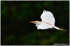 Cattle egret (EXPLORE, 10-10-18, #15) (RKop) Tags: brandon florida raphaelkopanphotography egret flight nikon d500